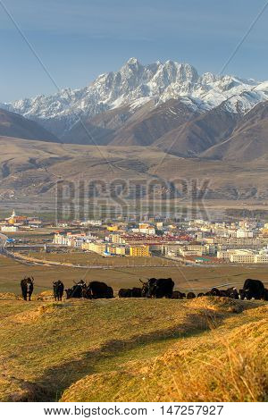 Yak herds feeding in the morning grass and village inclose mountain a famous landmark in Ganzi Sichuan China.