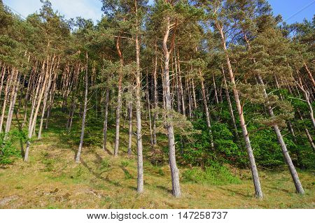 Beach Slope With Endless Fir Forests