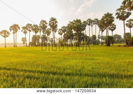 Rice field with palm tree background in morning Phetchaburi Thailand.