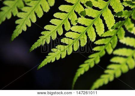 Closeup of a lady fern (Athyrium filix-femina) frond