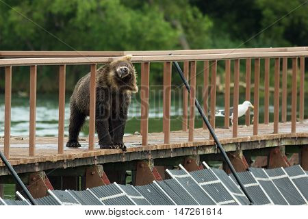 Young brown bear shakes off water on fence to account for fish. Kurile Lake in Southern Kamchatka Wildlife Refuge.