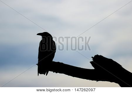 Silhouette of a crow sitting on a barren branch