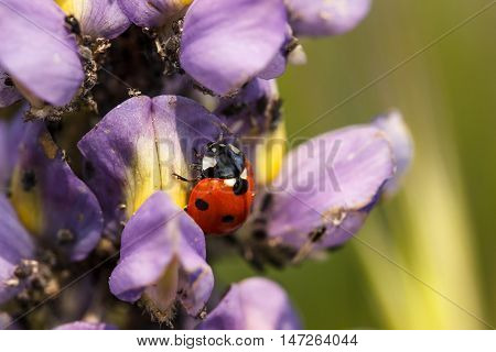 Ladybug on a lupine flower eating aphids