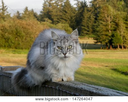 Maine Coon on a wooden fence in front of a meadow