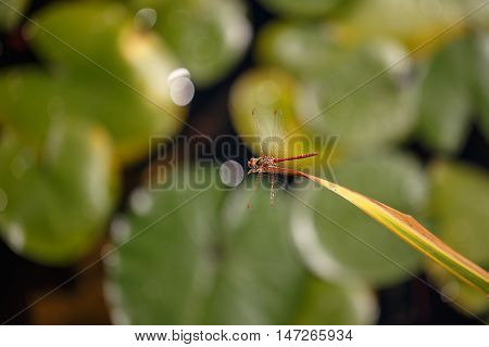 Dragonfly sitting on a green leaf. Taking Close-up. The background is blurred.