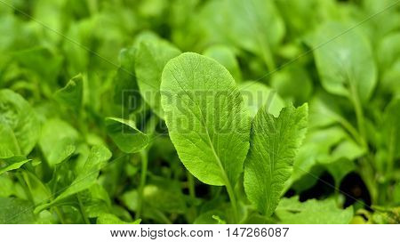 sapling Chinese Cabbage a kind of cabbagealso called Endive thailand
