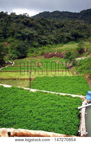 Vegetable Farm At Cameron Highlands, Malaysia..