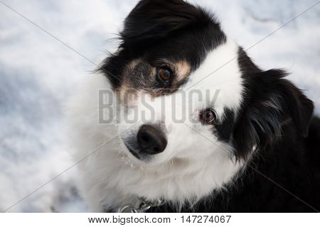 black and white Australian Shepherd dog looks up at the camera from the winter snow