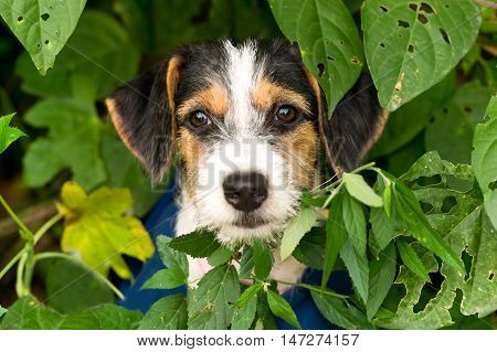 Puppy is an adorable puppy dog face outdoors with big brown adorable eyes.