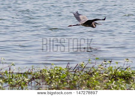 A Great Blue Heron soaring gracefully over a body of water heading out of sight