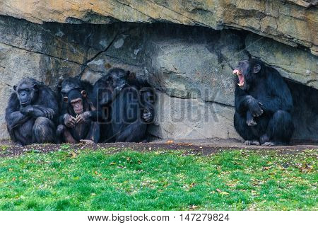 VALENCIA, SPAIN - MARCH 21, 2015: Chimpanzees in an animal-friendly zoo in Valencia Spain