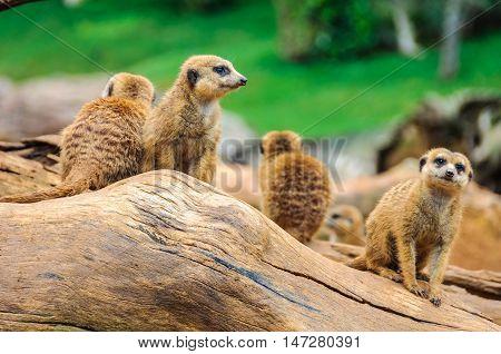 VALENCIA, SPAIN - MARCH 21, 2015: Meerkats in an animal-friendly zoo in Valencia Spain