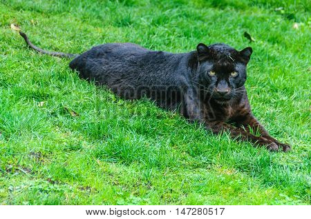VALENCIA, SPAIN - MARCH 21, 2015: Black panther in an animal-friendly zoo in Valencia Spain