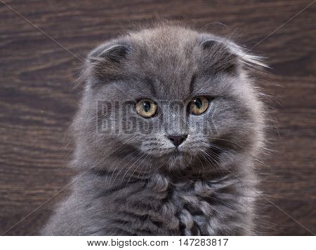 Portrait of a cute kitten. Grey lop-eared cat with huge yellow eyes. Fluffy cat on the background of wooden wall.