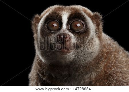 Close-up Face of Funny Animal Lemur Slow Loris Stare up Isolated Black background