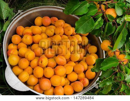 Bucket an apricot and a branch with apricots