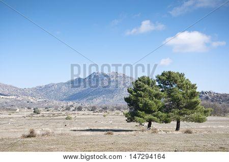 Maritime pine, Pinus pinaster, in winter. Photo taken in Zarzalejo countryside, Madrid, Spain.