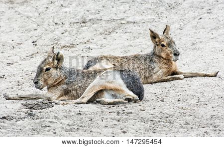 Patagonian mara - Dolichotis patagonum is a relatively large rodent in the mara genus. Two animal. Beauty in nature.