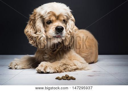 Dog on a white wooden floor. American cocker spaniel lying and looking to side with interest. Young purebred Cocker Spaniel. Dark background. Dog food on the floor.