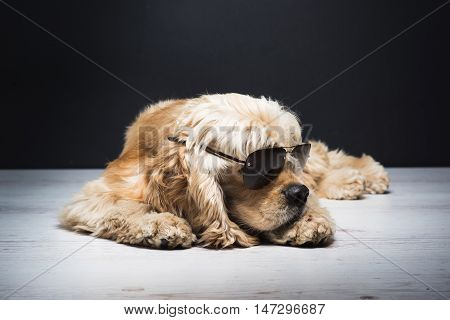 Dog With Sunglasses. American cocker spaniel lying on white wooden floor. Young purebred Cocker Spaniel. Dark background.