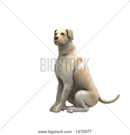 Yellow Labrador Retriever - 02