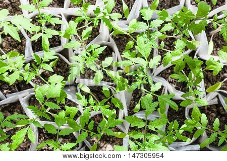 Top View Of Green Plant Shoots In Plastic Tube