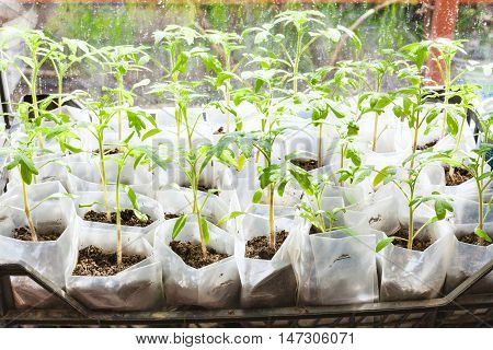 Green Shoots Of Tomato Plant In Plastic Boxes
