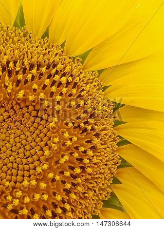 A Yellow Shiny Magnificent Sunflower Plant Closeup