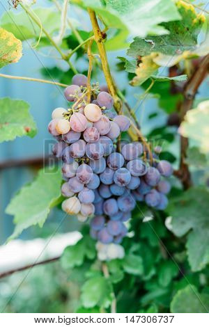 Grape-vine With Purple Grapes. Bunch Of Ripening Grapes Hanging