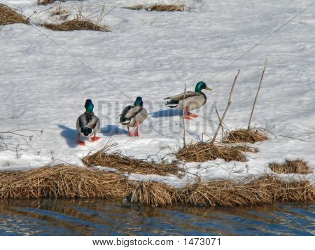 Wild Ducks On Snow 5