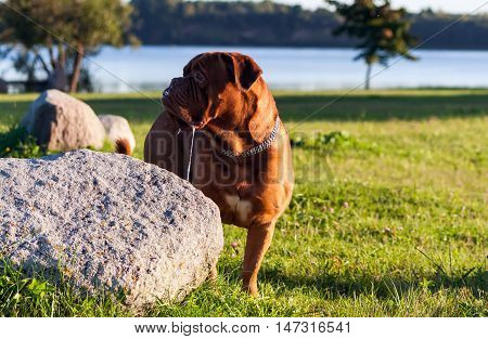 Dogue de Bordeaux or French Mastiff standing on the grass near a large stone in early autumn in September in the park, close up, trees and green grass in the background, pond, water