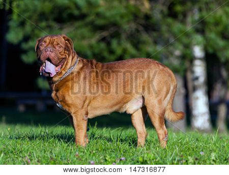 Dogue de Bordeaux or French Mastiff standing on the grass in early autumn in September in the park, close up, trees and green grass in the background,