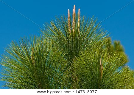 Close up of young pine treetop on blue sky background