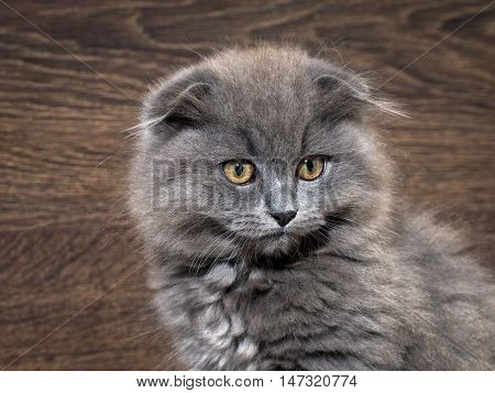 Muzzle magnificent cat. Cat gray lop-eared huge yellow eyes