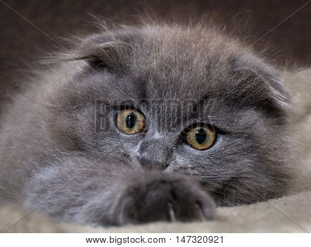 Muzzle magnificent cat. Kitten scared huge yellow eyes