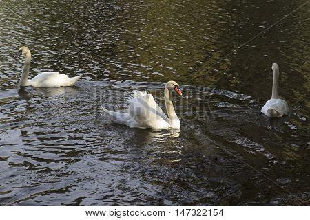 three Mute swans swim in in dark water of a lake