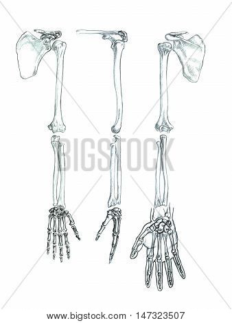 Hand drawn medical illustration drawing with imitation of lithography: Bones of the upper extremity