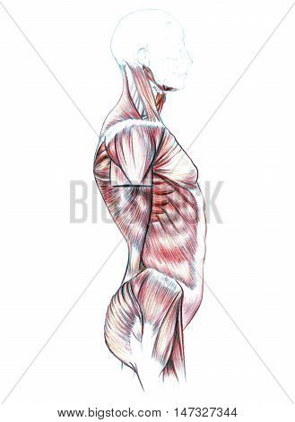 Hand drawn medical illustration drawing with imitation of lithography: Muscles of back, shoulders, chest, abdomen and buttocks