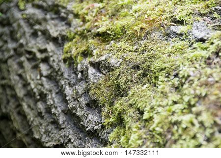 Moss grows on a fallen tree trunk in the forest : nature close up