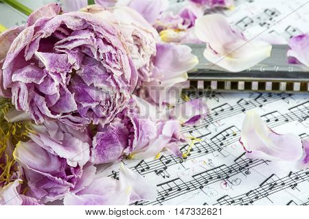 Several withered pink peonies with harmonica are on the musical notes with many petals