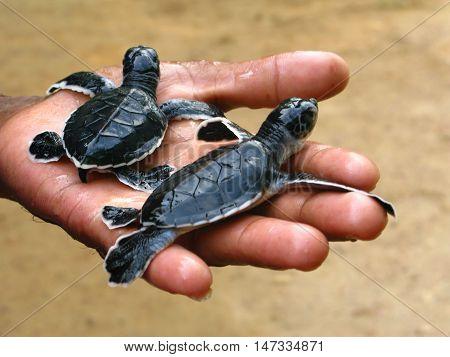 Newborn sea turtles in the hands, Sri Lanka