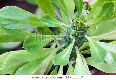 Closeup green succulent plant with strange leaves