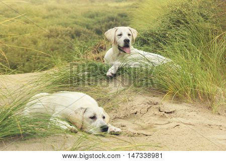 two cute little labrdor dog puppies on dunes at the beach of a german island