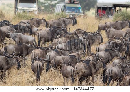 Africa Great Migration CRossing SCene  from Kenya to tanzania