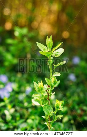 Close-Up Of Single Small Vernal Sprig With Green Leaves Of Future Fruit Tree Growing In Sunny Spring Summer Garden