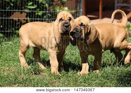 Nice Bloodhound Puppies