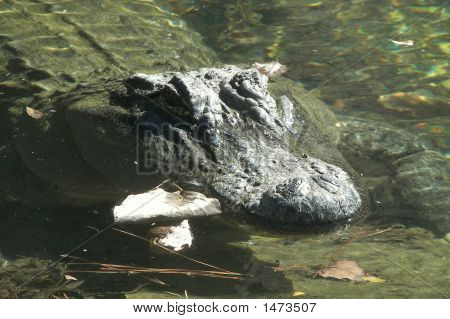 Alligator Reptile Texas