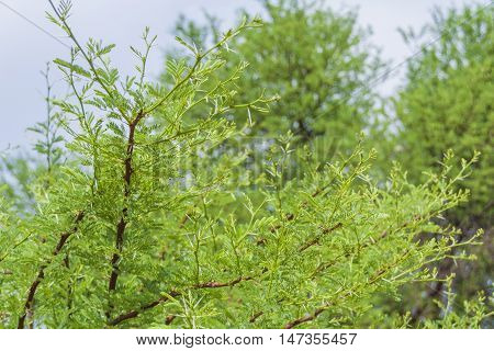 Acacia thorn tree branches with white thorns and fine green leaves