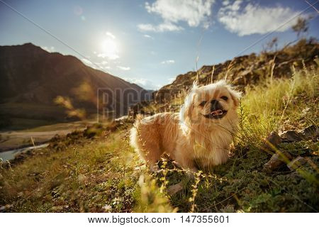 Funny dog pekingese sits and smiling on the beautiful mountains backdrop. Altay mountains