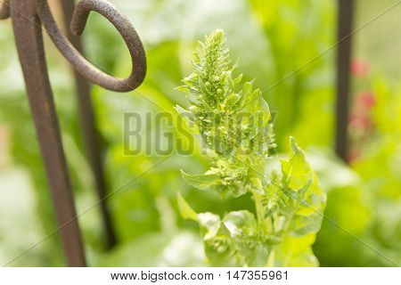 New budding green tip fine details of tomato plant in herb garden with rusty metal curls